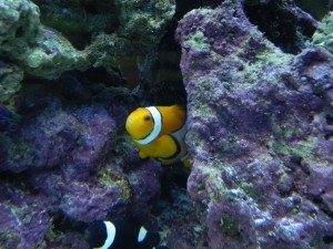 Clownfish and Clear Water