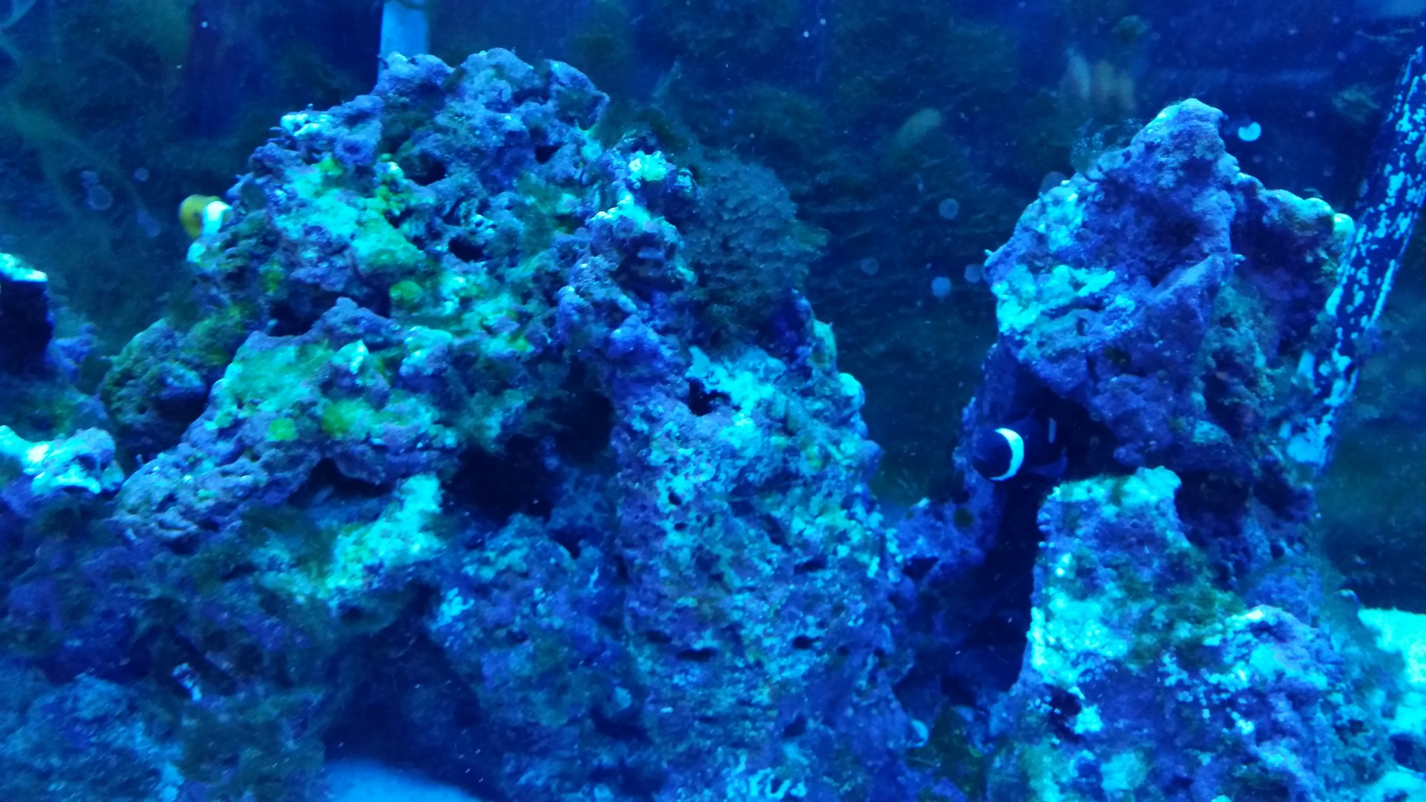 Clearing up a green algae bloom in my 75 gallon saltwater for Algae bloom in fish tank